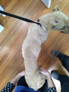 Sam weighed just 18kgs when he was seized by the SPCA last year. Photo: Supplied.