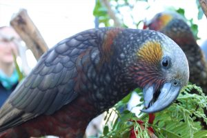 An inquisitive kākā from Natureland's Breed for Release programme. Photo: Sara Hollyman.